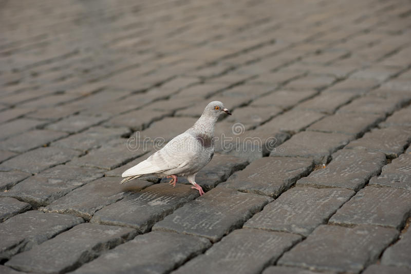 Un pigeon seul se tenant sur une griffe dans la rue pavée photo libre de droits