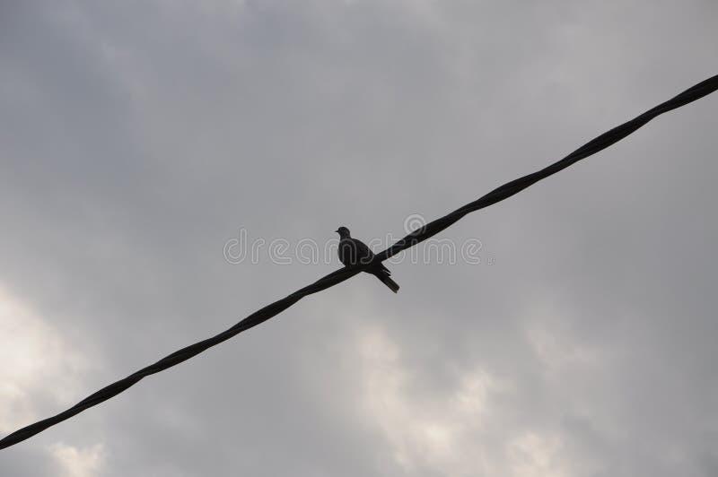 Un pigeon sur le fil images libres de droits