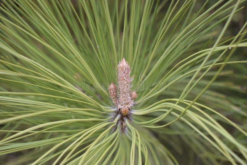 Un pin avec les aiguilles particuli?rement longues et d?coratives et les c?nes impressionnants photographie stock libre de droits