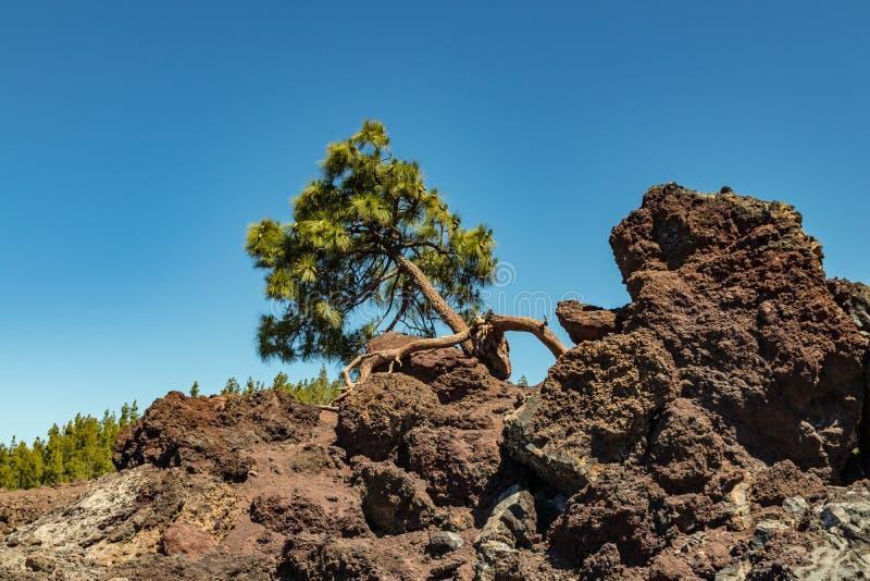 Un pin unique se penchant vers l'horizon, s'élevant directement de la lave et des morsures dans les roches Ciel bleu lumineux, mo photos stock