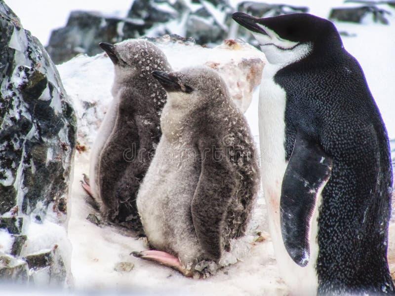 Un pingüino de Chinstrap con dos jóvenes imagenes de archivo
