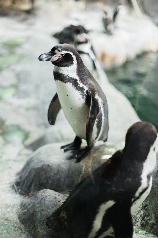 Un pingüino en un parque zoológico que mira fijamente la cámara con otros pingüinos fotos de archivo libres de regalías