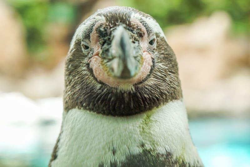 Un pingüino presenta para la cámara en Tenerife, España imagenes de archivo