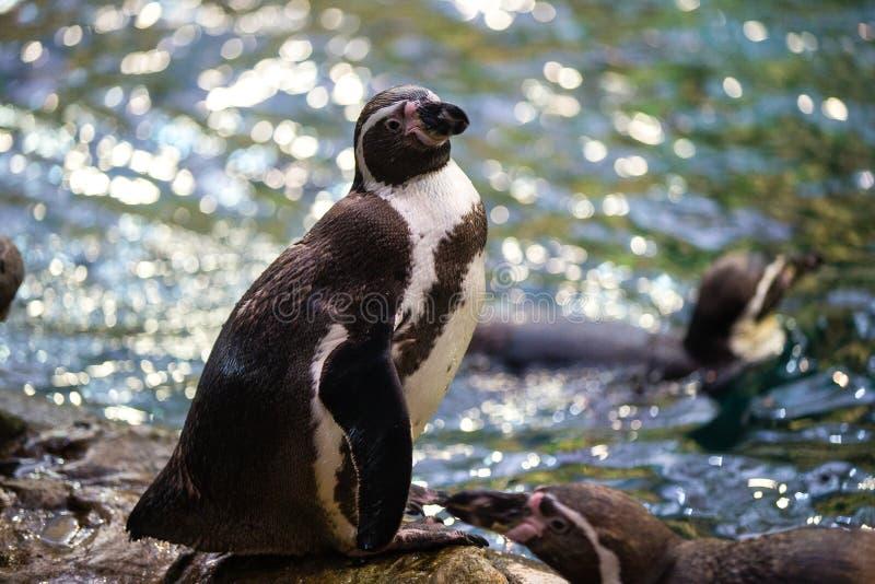 Un pingüino sonriente en el parque zoológico en Tenerife, España fotos de archivo libres de regalías