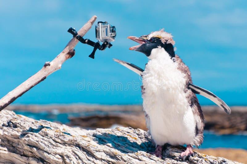 Un pingouin aux yeux jaunes muant et l'appareil-photo chez Kaikoura, nouveau Ze photo stock