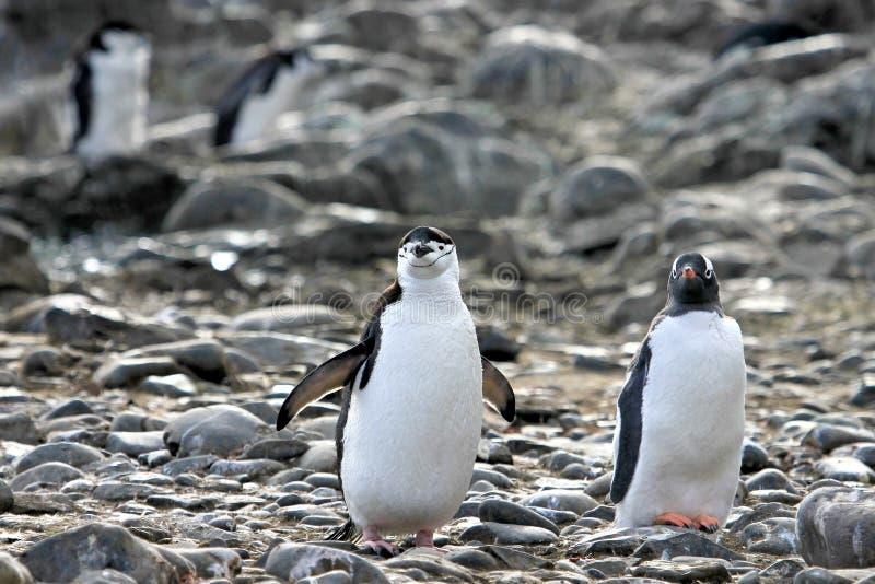 Un pingouin de jugulaire du côté gauche et un pingouin de Gentoo sur la péninsule droite et antarctique photos libres de droits