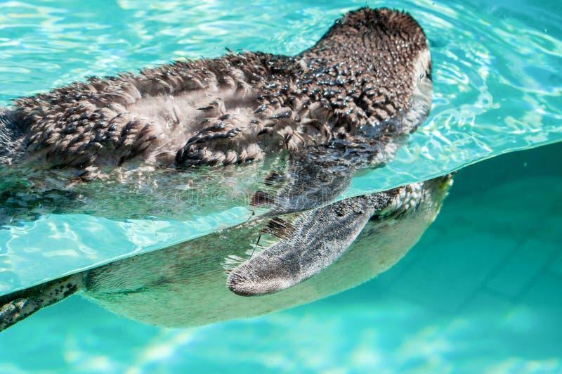 Un pingouin de natation dans l'eau clair comme de l'eau de roche photo libre de droits