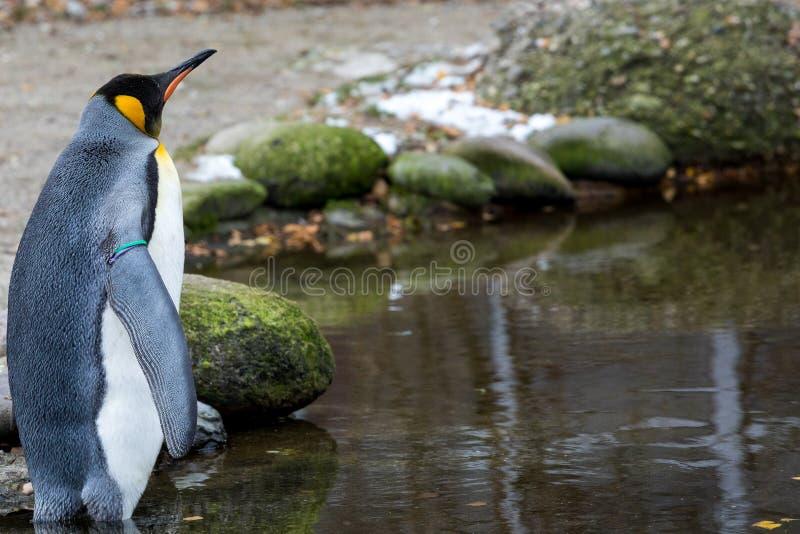 Un pingouin recherchant la réponse image libre de droits