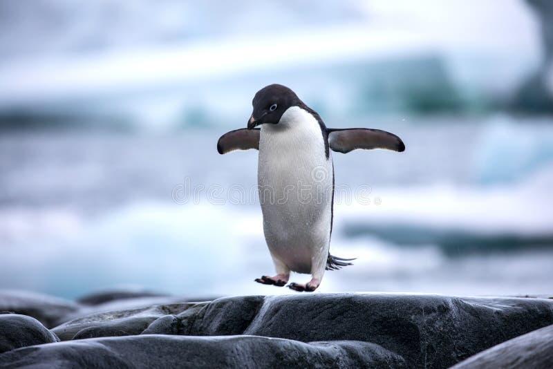 Un pinguino antartico di Adelie che salta fra le rocce immagini stock