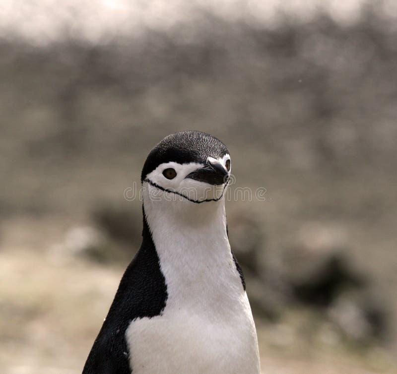 Un pinguino di Chinstrap fotografia stock libera da diritti