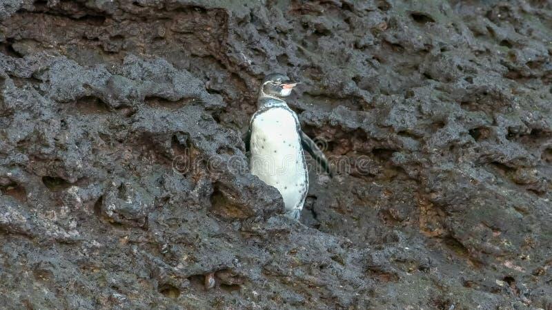 Un pinguino di galapagos agita le sue ali sul bartolome di isla fotografia stock libera da diritti