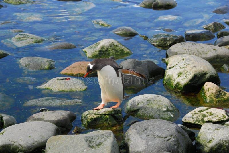 Un pinguino sulle rocce fotografie stock libere da diritti