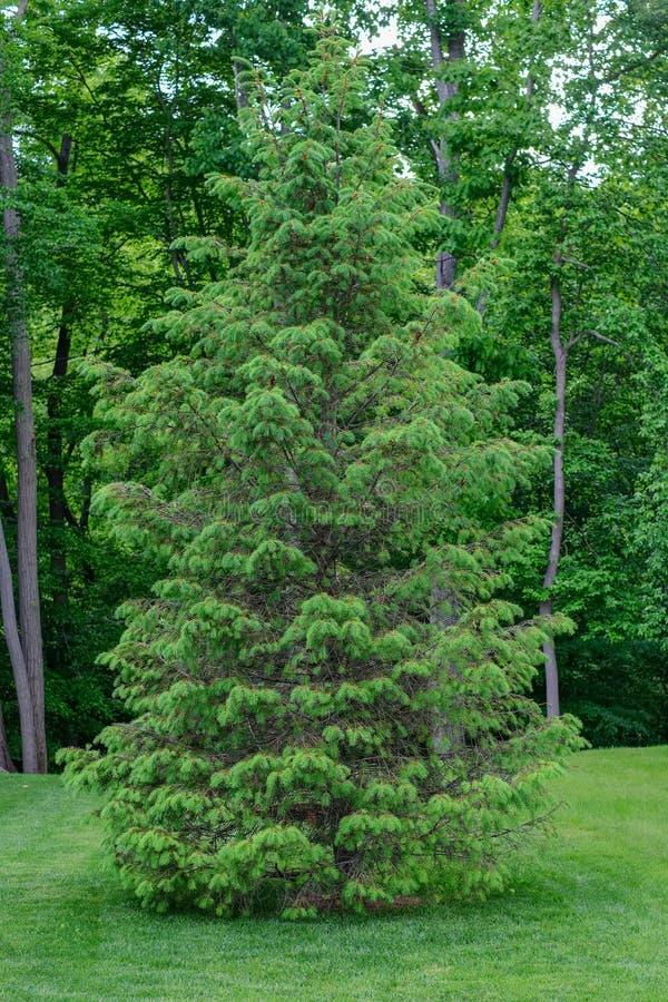 Un pino bianco solo si siede su una legge di recente falciata e manicured immagine stock
