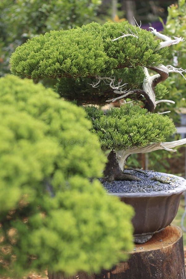 Un pino dei bonsai in un vaso ceramico immagini stock libere da diritti