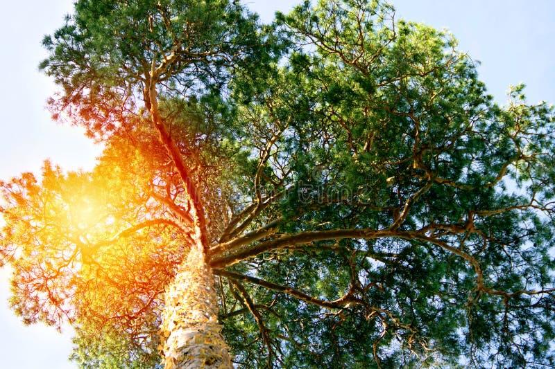 Un pino mágico inundado con luz del sol fotos de archivo