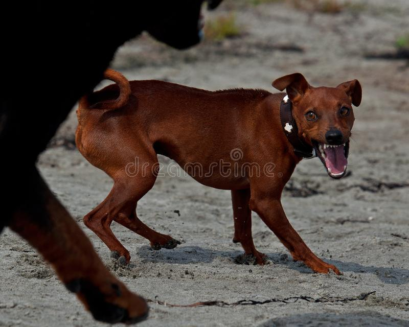 Un Pinscher de Miniatur montre les dents sur la plage photo libre de droits
