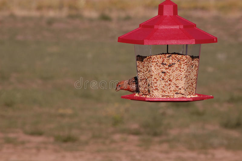 Un pinson mâle de Chambre mangeant des graines photos stock