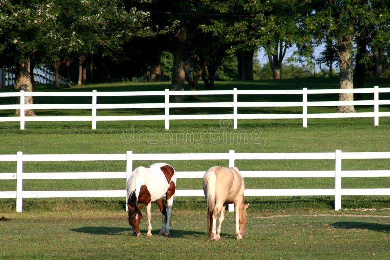 Un pinto ed i cavalli dell'un palomino immagine stock
