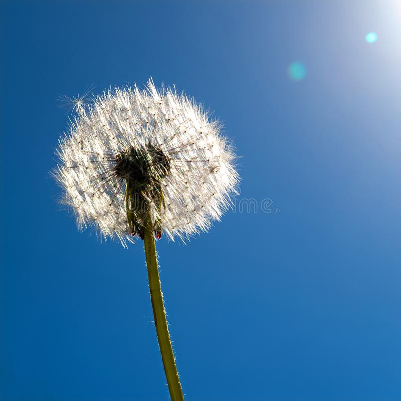Un pissenlit au soleil contre le ciel bleu photographie stock libre de droits
