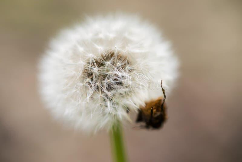 Un pissenlit solitaire avec de nombreux graines, composé volatil et scarabée Macro photos stock