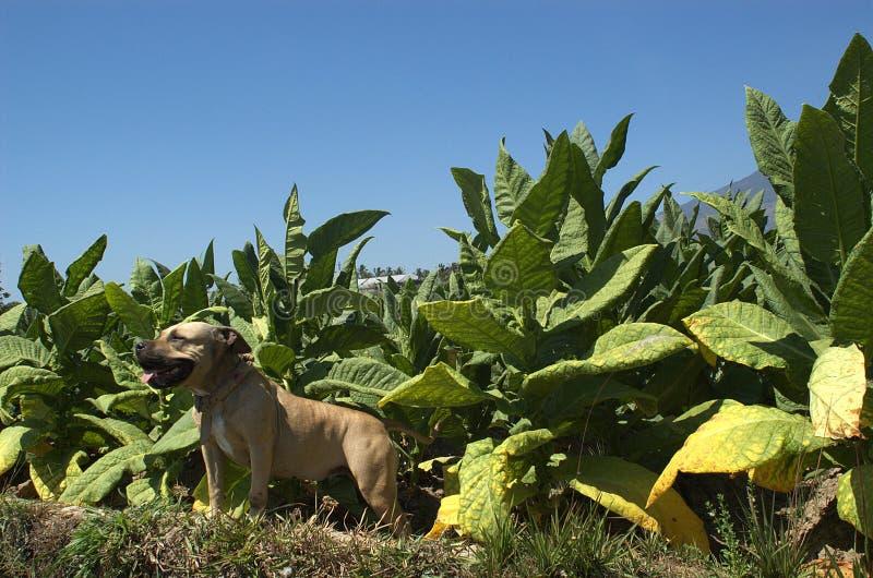 Un pitbull sonriente en el campo de tabaco imagen de archivo