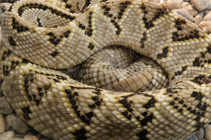 Un pitone del serpente del colpo del primo piano fotografia stock libera da diritti