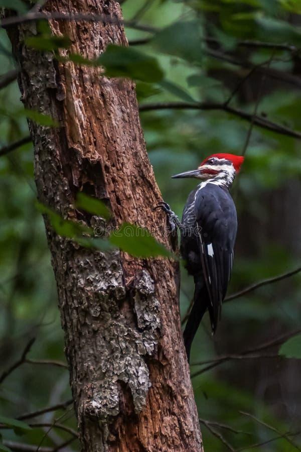Un pivert de Pileated sur un arbre dans les bois images libres de droits