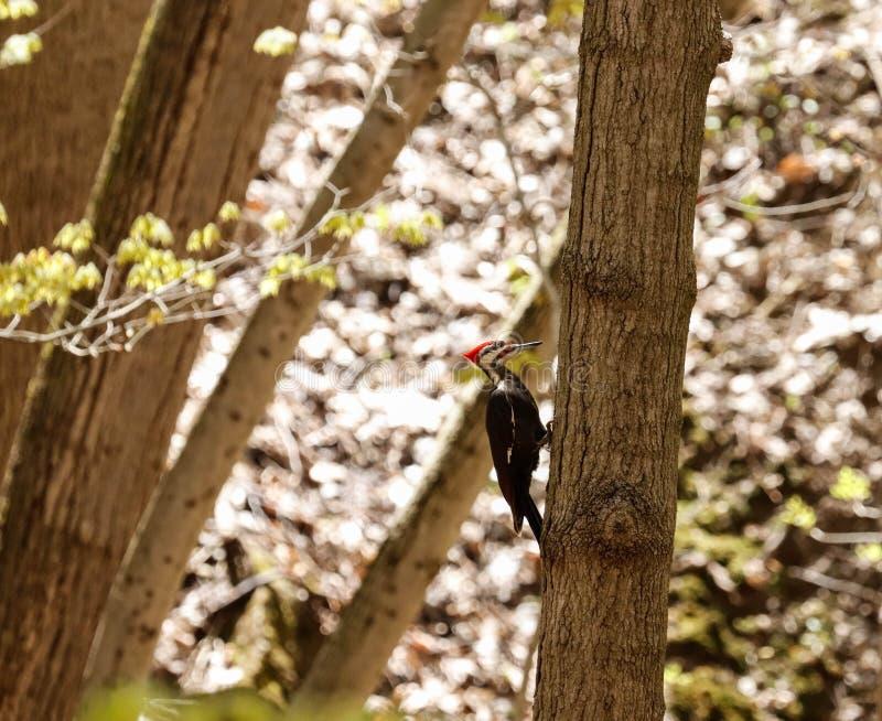 Un pivert pileated été perché sur une branche, mangeant photographie stock