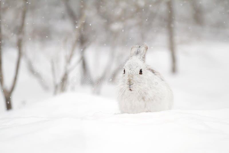 Un plan rapproché américanus de Lepus de lièvres de raquette en hiver photos libres de droits