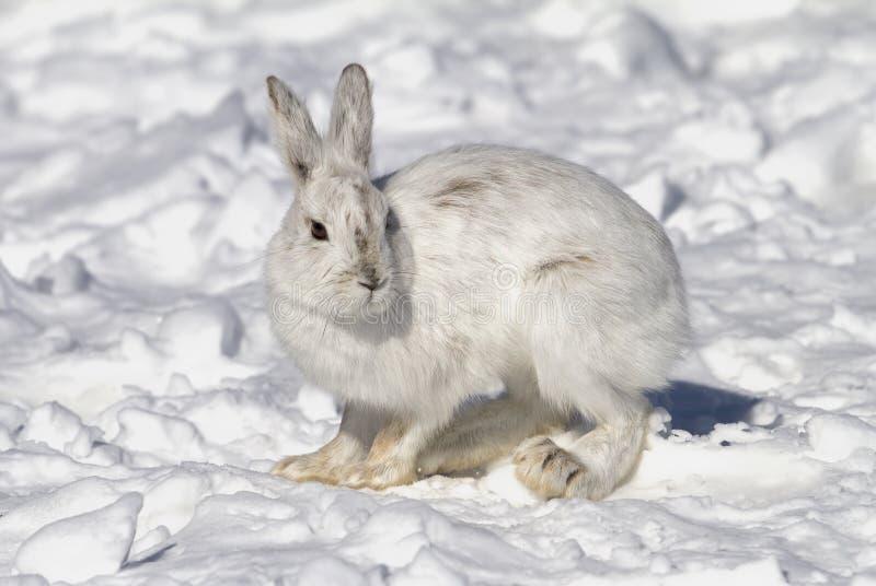 Un plan rapproché américanus de Lepus de lièvres de raquette en hiver photographie stock libre de droits