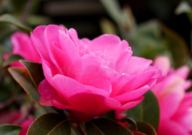Un plan rapproché d'un camélia rose lumineux photographie stock