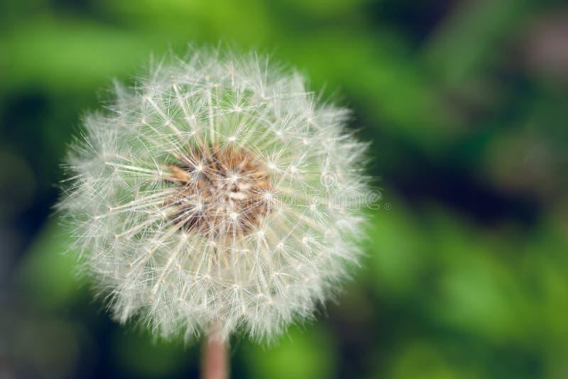 Un plan rapproché d'une fleur de pissenlit allée pour semer image libre de droits