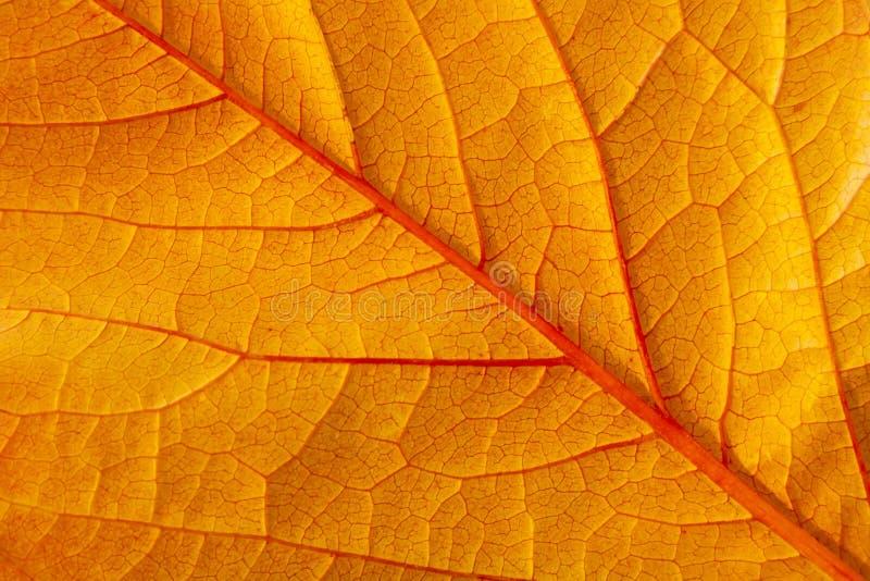 Un plan rapproché d'une grande lame rouge d'automne photographie stock libre de droits