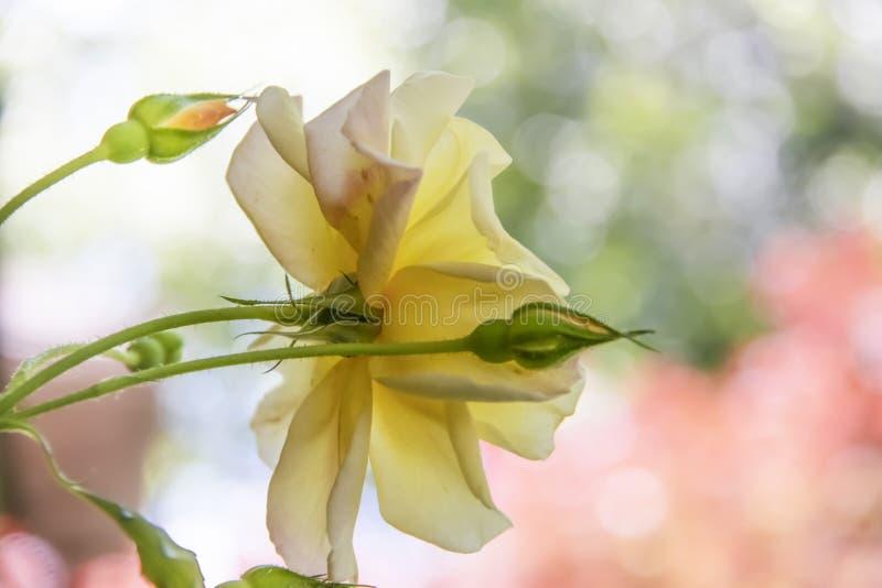 - Un plan rapproché d'une rose jaune et des bourgeons de foyer mou sur un rose de bokeh et un fond vert - pastels mous et sensibl photos libres de droits