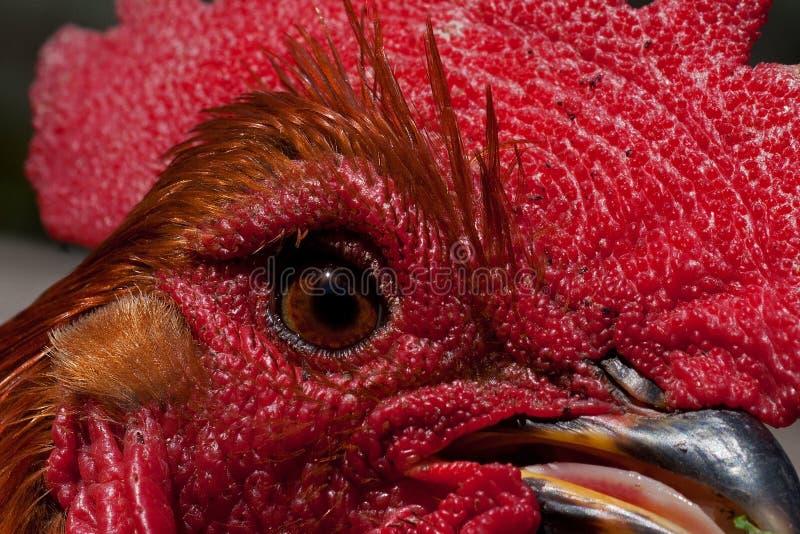 Un plan rapproché d'une tête de coq photo stock