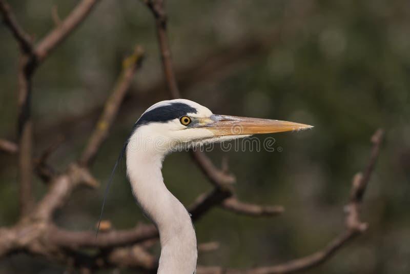 Un plan rapproché de Grey Heron photo libre de droits
