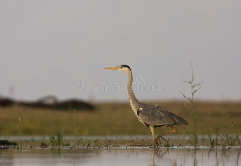 Un plan rapproché de Grey Heron photographie stock