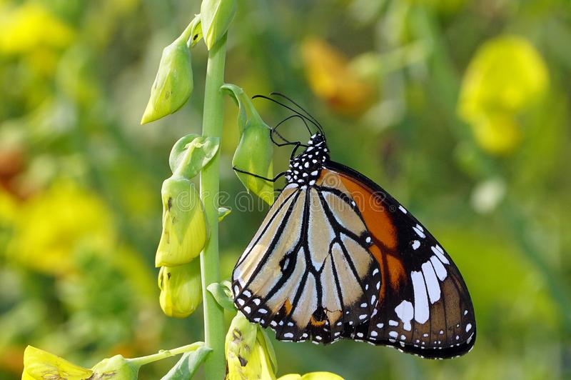 Un plan rapproché de plexippus de Danaus de papillon de monarque photo libre de droits