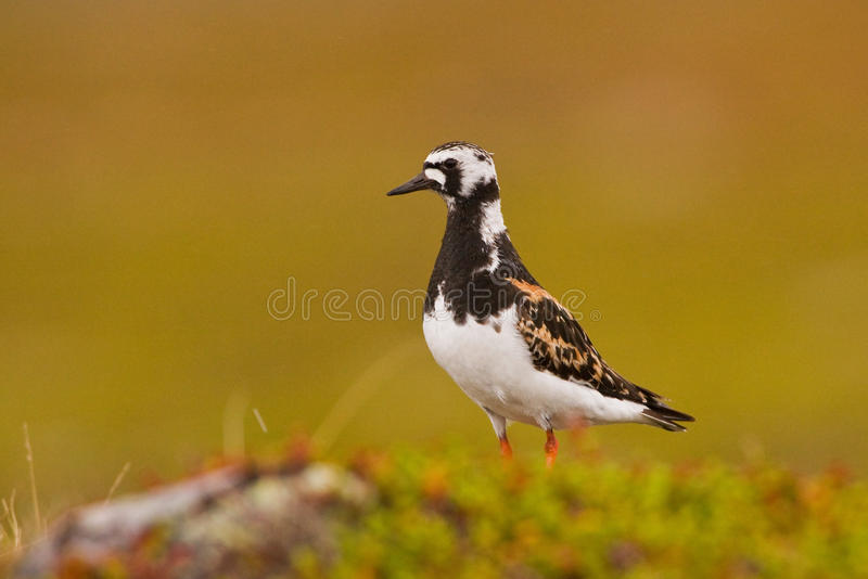 Un plan rapproché de Ruddy Turnstone photo libre de droits
