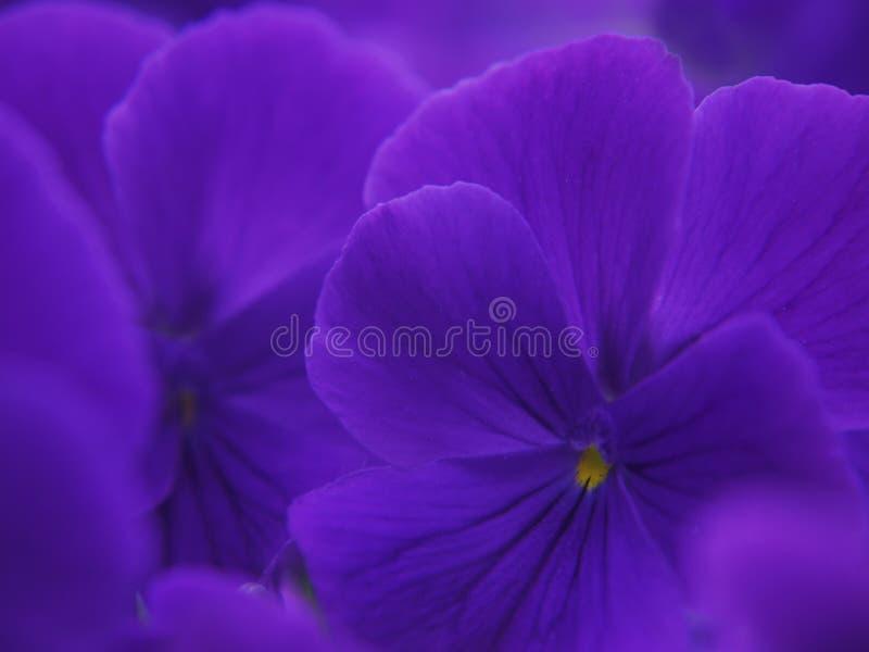 Un plan rapproché des fleurs mauve-foncé de la violette de jardin image stock