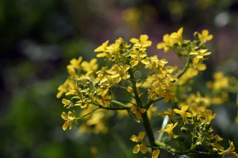 Un plan rapproché des wildflowers jaunes images stock