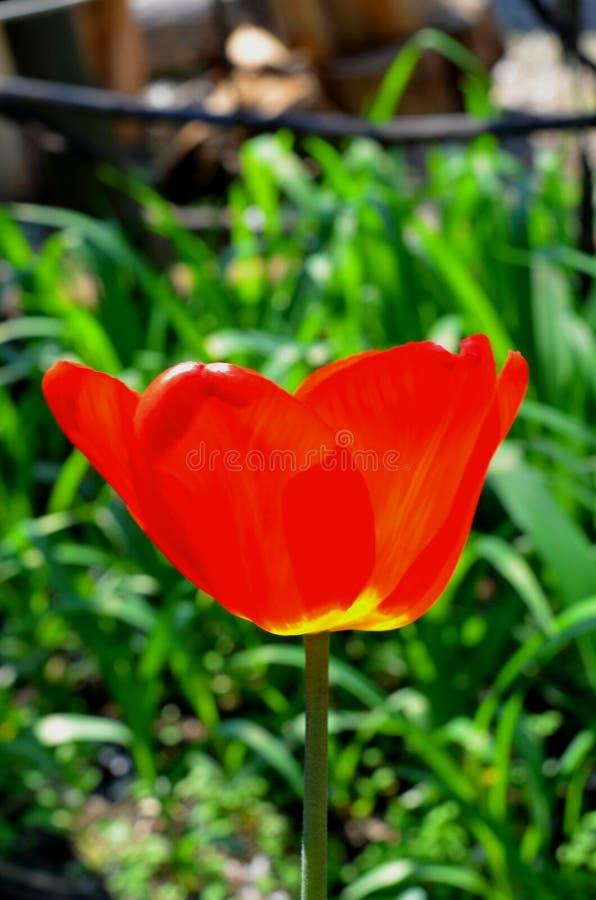 Un plan rapproché rouge de tir de fleur de tulipe photo stock