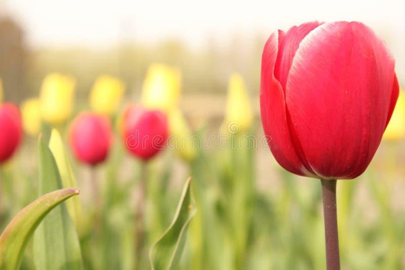 Un plan rapproché rouge de tulipe et des tulipes jaunes et rouges à l'arrière-plan dans un jardin en Hollande au printemps photos libres de droits