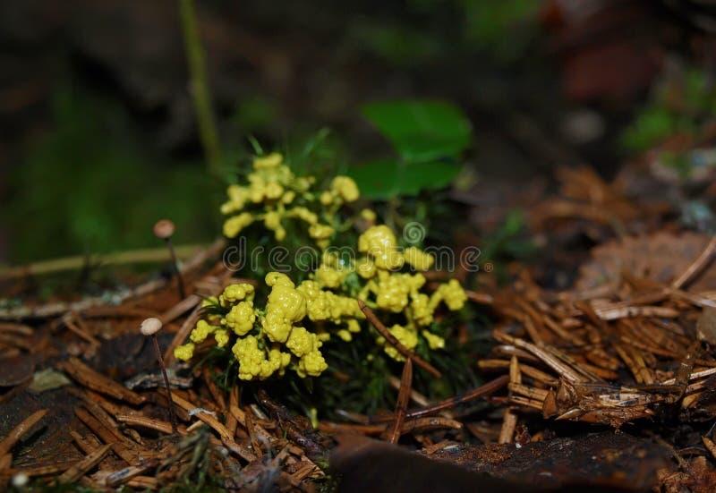 Un plasmodium granular amarillo de un molde de limo en un musgo imagenes de archivo