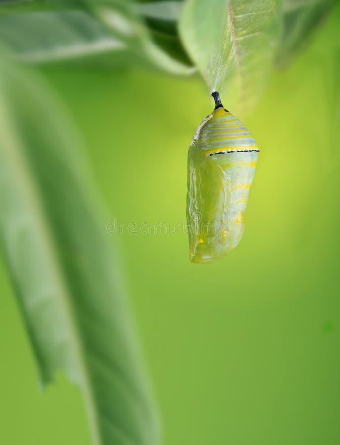 Un plexippus hermoso del Danaus de la crisálida del monarca cuelga en el le imagen de archivo