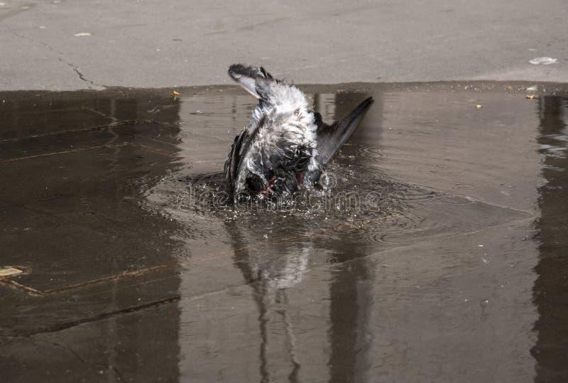 Un plongeur d'oiseau pigeon isolé plongeant dans de l'eau peu profonde du sol, L'image a été prise en action gelée images libres de droits