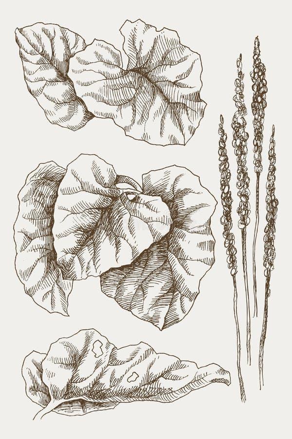 Un plus grand commandant de plantain ou de Plantago Illustration gravée botanique de vintage Conception de vecteur illustration de vecteur