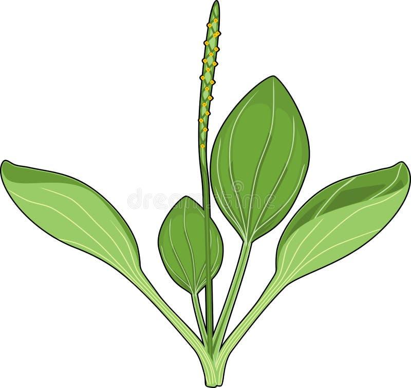Un plus grand commandant de plantain ou de Plantago Usine avec les feuilles et l'inflorescence vertes illustration de vecteur