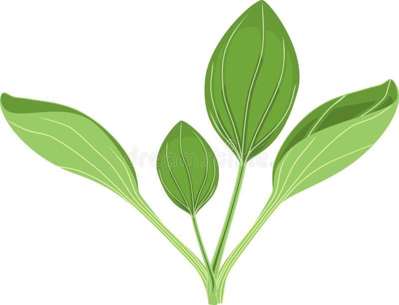 Un plus grand commandant de plantain ou de Plantago Usine avec les feuilles vertes illustration de vecteur