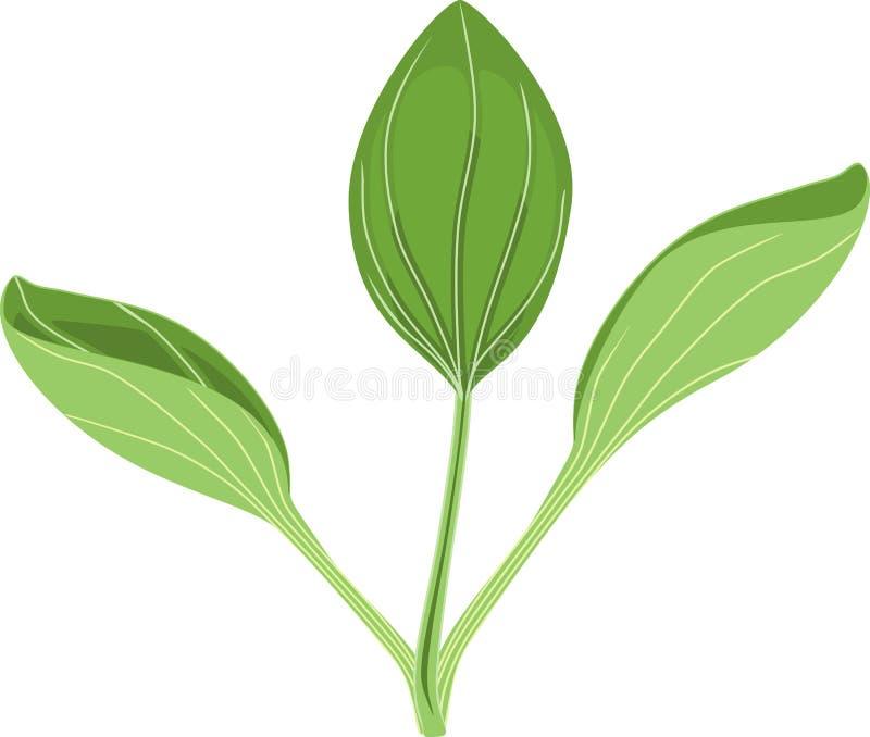 Un plus grand commandant de plantain ou de Plantago Usine avec les feuilles vertes illustration libre de droits
